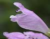 ハナトラノオ(花虎の尾)